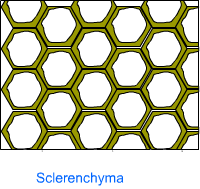 Sclerenchyma